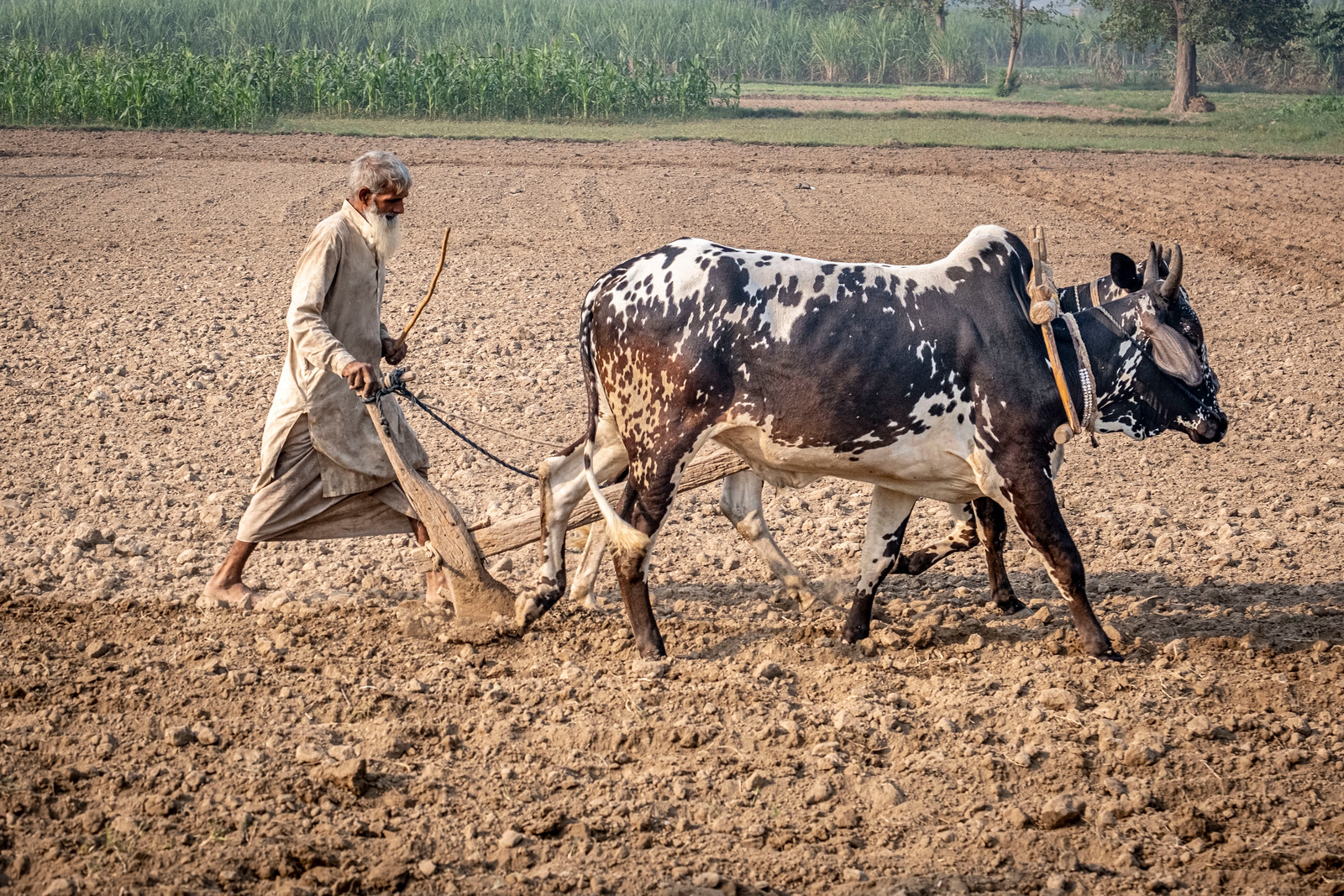 Punjabi farmer plowing with bullocks and a wooden plow Photo by Amrinder Singh